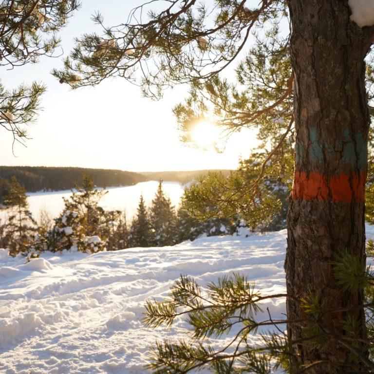 snö och tallskog i solljus