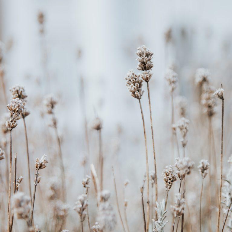 Torrt gräs med frost på